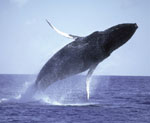 Island Marine - Whale Watch Cruise